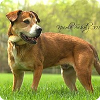 Adopt A Pet :: Callum Blue - Thompson's Station, TN