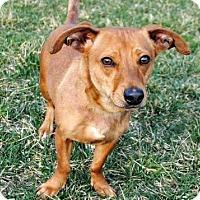 Dachshund Mix Dog for adoption in Hagerstown, Maryland - SKEETER