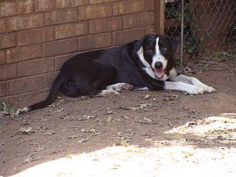 Labrador Retriever Mix Dog for adoption in Blanchard, Oklahoma - Spike