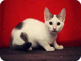 Domestic Mediumhair Kitten for adoption in Sugar Land, Texas - *CLIFF