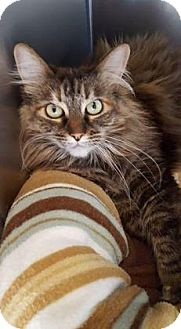 Maine Coon Cat for adoption in Reno, Nevada - Ginger