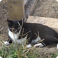 Domestic Shorthair Cat for adoption in Zaleski, Ohio - Dillon