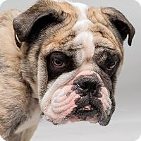 Adopt A Pet :: Boomerang Woodland - Westfield, NY