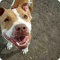 Pit Bull Terrier Dog for adoption in Camarillo, California - *RICKY BOBBY