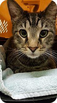 Domestic Shorthair Cat for adoption in Chicago, Illinois - Goonie