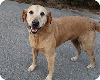 Golden Retriever Mix Dog for adoption in Saratoga, New York - Gracie