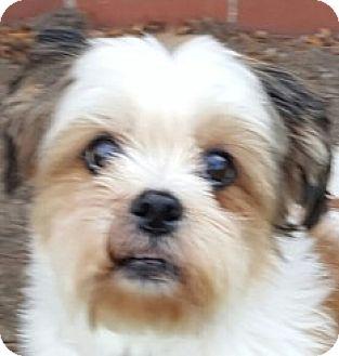 Shih Tzu Dog for adoption in Bloomington, Illinois - Katie Bug