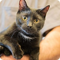 Bombay Cat for adoption in Exton, Pennsylvania - Midnight (Foster)