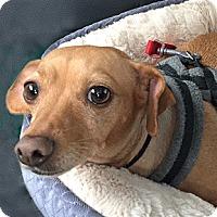 Adopt A Pet :: Annabelle - Oakland, CA