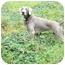 Photo 1 - Weimaraner Dog for adoption in Attica, New York - Freedom