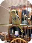 Cockatiel for adoption in St. Louis, Missouri - Minnie and Skippy
