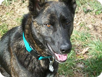 Dutch Shepherd Mix Dog for adoption in Nashville, Tennessee - Pax