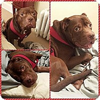 Adopt A Pet :: Sugar Bear - bridgeport, CT