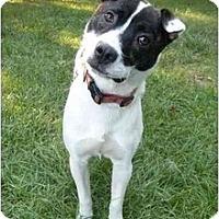Adopt A Pet :: Gizmo - Mocksville, NC