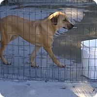 Adopt A Pet :: Chaz - Manning, SC