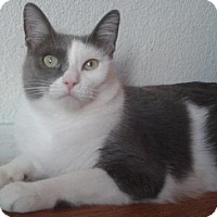 Adopt A Pet :: Gattica - Gilbert, AZ