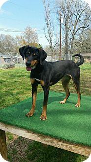 Hound (Unknown Type)/Doberman Pinscher Mix Dog for adoption in Shelby, North Carolina - Cece