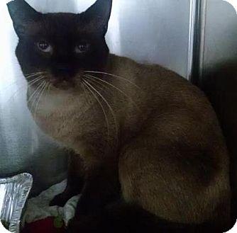Siamese Cat for adoption in Powder Springs, Georgia - MAESTRO