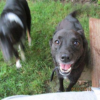 Schipperke/Labrador Retriever Mix Dog for adoption in Wapwallopen, Pennsylvania - Knight