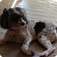 Adopt A Pet :: CJ Poodle - Aurora, CO
