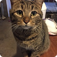 Adopt A Pet :: Shania - Morganton, NC