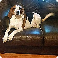 Treeing Walker Coonhound Dog for adoption in Washington DC, D.C. - Banjo-The Smiling Hound