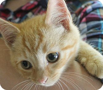 Domestic Shorthair Kitten for adoption in Mt Sterling, Kentucky - Lewis