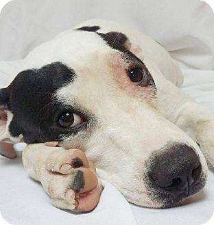 American Pit Bull Terrier/American Bulldog Mix Dog for adoption in Baton Rouge, Louisiana - Kee Kee
