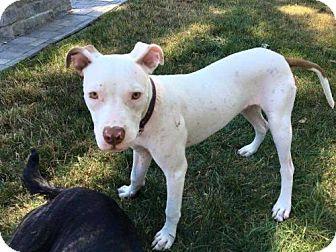 Pit Bull Terrier Mix Puppy for adoption in Boston, Massachusetts - Monti