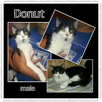 Domestic Shorthair Cat for adoption in Richmond, California - Donut