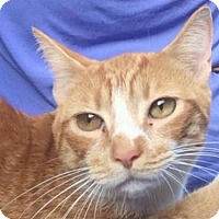 Domestic Shorthair Cat for adoption in Baltimore, Maryland - Tony