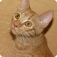 Adopt A Pet :: Lil Mr Kitty - Tulsa, OK