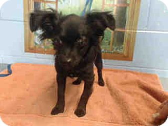 Chihuahua Mix Puppy for adoption in San Bernardino, California - URGENT on 10/19 SAN BERNARDINO