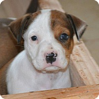 American Pit Bull Terrier/Beagle Mix Dog for adoption in Peoria, Arizona - Wyatt