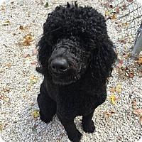 Adopt A Pet :: Cash - Manchester, MO