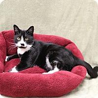 Domestic Shorthair Kitten for adoption in McCormick, South Carolina - Jordan