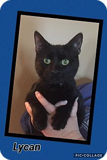 Domestic Shorthair Cat for adoption in Scottsdale, Arizona - Lycan