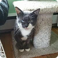 Adopt A Pet :: Mr. Munson Whiskers - Island Park, NY