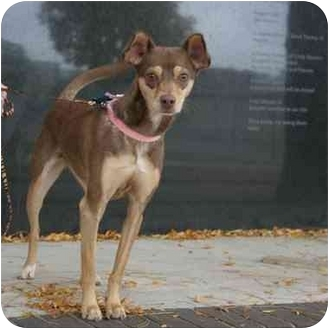 Penny   Adopted Dog   Denver, CO   Chihuahua/Manchester ... Bengal Cat Denver Co