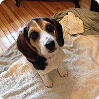 Adopt A Pet :: Clover - Monteregie, QC