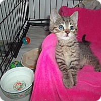 Adopt A Pet :: SIMBA - Little Neck, NY
