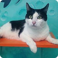 Adopt A Pet :: Tiger - Newport Beach, CA