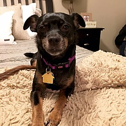 Photo 2 - Miniature Pinscher Dog for adoption in Nashville, Tennessee - Lexus
