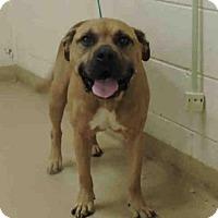 Adopt A Pet :: Tucker the mastiff - Willingboro, NJ