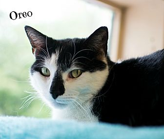 Domestic Shorthair Cat for adoption in Ocean View, New Jersey - Oreo