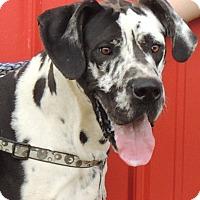 Adopt A Pet :: Cain - Joplin, MO