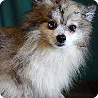 Adopt A Pet :: Impala - Waldorf, MD