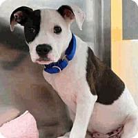 Adopt A Pet :: Oreo Pup - Austin, TX