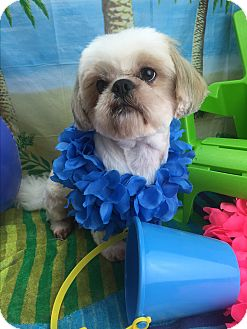 Shih Tzu Dog for adoption in Winchester, Kentucky - Benji