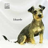 Standard Schnauzer/Terrier (Unknown Type, Medium) Mix Dog for adoption in Spring, Texas - Eduardo